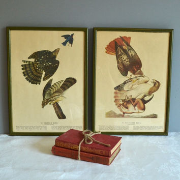 Vintage Bird Prints Bird Book Plates Birds of America Prints Study Decor Office Decor Framed Hawk Prints