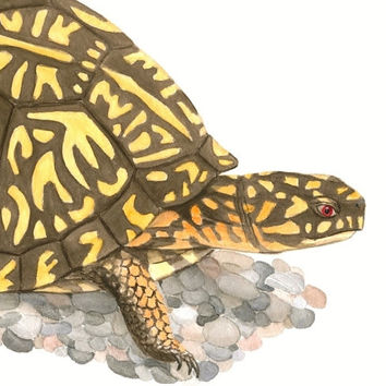 "Box Turtle Archival Print - Fine Art Reproduction of Original Eastern Box Turtle Illustration, Brown and Yellow Wildlife Art 8.5"" X 11"""