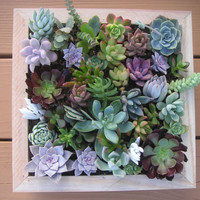 Complete Succulent Wall Art Kit Comes With 25 by SucculentsGalore