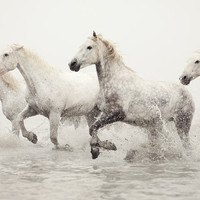 Horse Photography White Horses Running in by EyePoetryPhotography