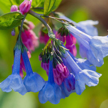 200 Virginia Bluebells - Mertensia virginica Flower Seeds, Woodsy Cute Wildflower, Hardy perennial, Amazing blooms