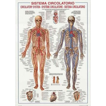 Circulatory System Medical Anatomy Poster 27x39