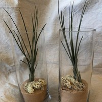 Two Clylinder Airplant Terrariums Great for Bedrooms and Fireplaces