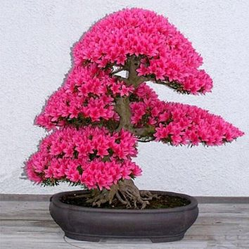 Bonsai Tree japanese sakura seeds ,bonsai flower Cherry Blossoms for home & garden 2 seeds/pack