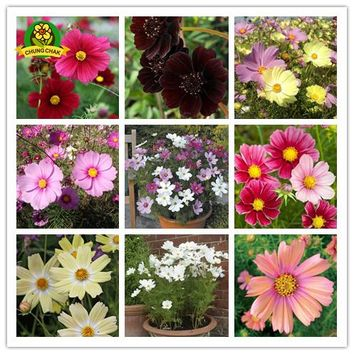 Flowers Seeds Cosmos bipinnatus seeds 200pcs Cosmea Wild Garden Aster Heirloom Mixed Persian Chrysanthemum Plants Potted Balcony