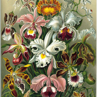 Haeckel - Organisms Classified as Orchidae (Orchids)