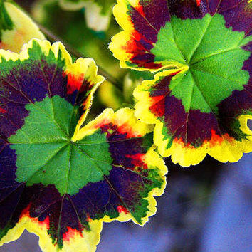 100 Rainbow Tricolor Seeds | Variegated Geranium | Potted Winter Hlower Bonsai Grass Color Home Garden Tree Decor Balcony Design Plant