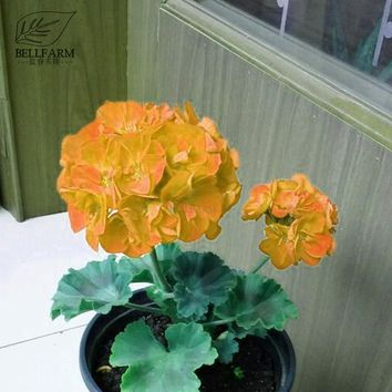 BELLFARM Geranium Golden Dense Ball-shaped Big Blooms Bonsai Flowers, 10pcs Seeds, Heirloom Garden Pelargonium hortorum