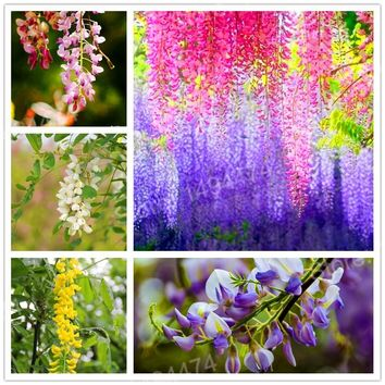 5 seeds Rare Wisteria Seeds mixed color flower seeds bonsai wisteria tree seeds ornamental plant beautiful plant for home garden