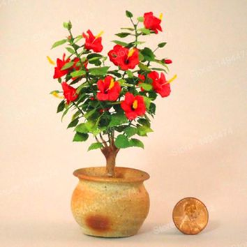 100pcs mixed color flower mini Hibiscus seeds mini flower seeds cheap Hibiscus flower Bonsai tree plant seeds for home garden
