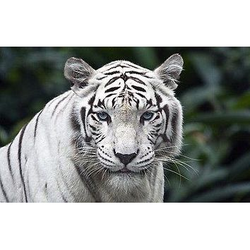 nature poster WHITE TIGER stripes blue-green eyes lovely WILD ANIMAL 24X36