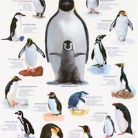 Penguins Animal Infographic Poster 24x36