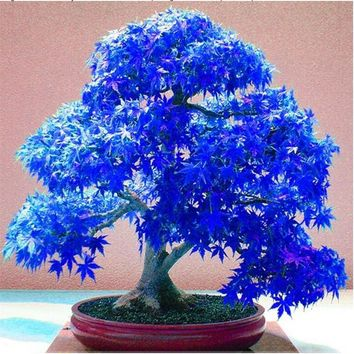 20PCS Rare Purple Blue Ghost Japanese Maple Tree, (Acer Palatum), bonsai flower tree plant for home garden (feng shu)