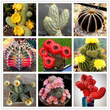 Mix color Succulent seeds cactus flower seeds garden bonsai plant rare flower cactus mini plant succulent 200seeds,easy to grow