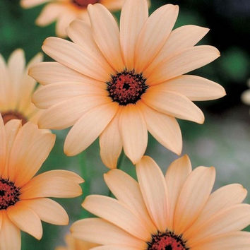 African Daisy Salmon Flower Seeds (Dimorphotheca Sinuata Salmon) 50+Seeds