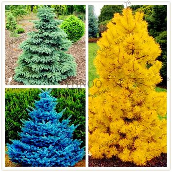 50pcs/bag Yellow/Blue/green Spruce Seeds Tree Seeds Rare Evergreen Colorado Flower Pot Planters For Home Garden