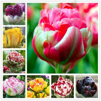 2 Pcs rare double Tulip Bulbs Not Tulip Seeds 24 colors Available Tulips Variety Fresh Bulbous Root Flower Corms Planted