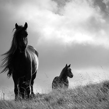Horse photo, animal photography, black and white or colour / color fine art photo, British Fell ponies, 18 x 12