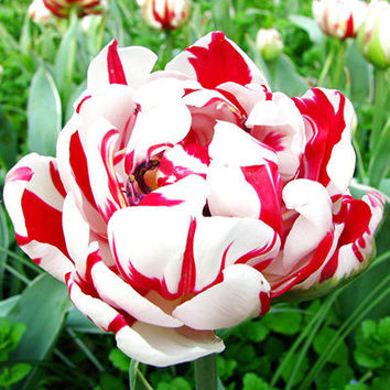 10 Tulip Bulbs (Not Seeds), Mix Color Variety Fresh Bulbous Root Flower Corms Numerous Home Gardening Decor Plants