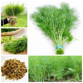 100 Fennel Herbs Seeds Fresh And Green Organic Vegetable Europe Fragrant Bulb Fennel Seeds DIY Home Garden Potted Easy To Grow