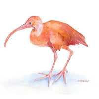 Ibis Watercolor Painting - 8 x 10 - Giclee Print - 8.5 x 11 - Scarlett Ibis