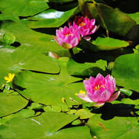 Wall art, Water Lilies, Japanese garden, Lily pads, pond flower photo, 8 x 10 or CUSTOM, fine art, home decor, ENLARGEMENTS, turtlesandpeace