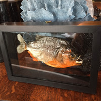 Double Glass Piranha