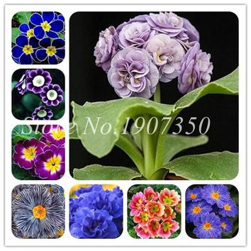 100 Pcs/Bag Mixed Europe Primula Acaulis Bonsai Potted Plant Rare Bonsai Flower For Home & Garden Indoor Bonsai Plants