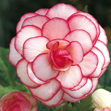 10 Begonia Flower Seeds  - Begonia Tuberosa Double Color - First Picotee Begonias Love Home Garden Decor DIY Plants Growing