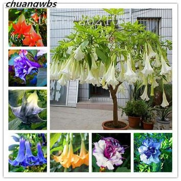 Shop angels trumpet on wanelo datura flower seeds tropical plant seeds aromatic white angels trumpet flower indoor bonsai seed for home mightylinksfo