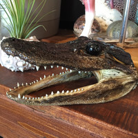 Alligator Heads