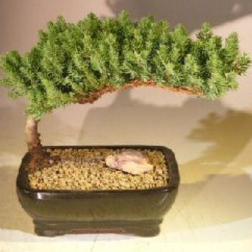 Juniper Bonsai Tree - Medium(Juniper Procumbens nana)
