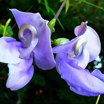 Vigna caracalla, Lavender Snail Vine, 5 rare seeds, profuse bloomer, vigorous climber, loves heat, cover that fence!