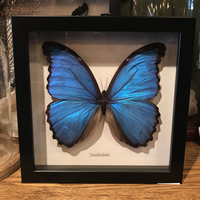 Morpho Didius White Background Frame