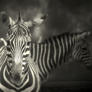 Black and white photography Zebra by EyePoetryPhotography on Etsy