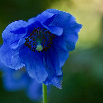 200 Himalayan Blue Poppy Flower Seeds | Giganteum Papaver Somniferum Rare | Home Garden Heirloom Organic Plants Decor DIY