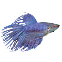 Crowntail Betta | Live Fish | PetSmart