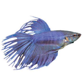 Crowntail betta live fish petsmart from pet smart epic for Betta fish tanks petsmart