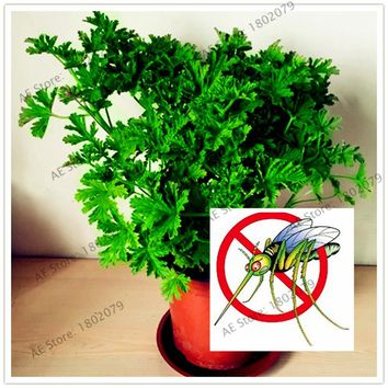 100pcs/bag Mosquito Repelling Grass seeds, exotic plant indoor pot bonsai herb seeds for Home & Garden