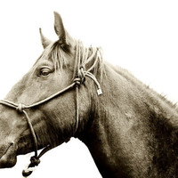 Horse Photography HORSE AND HALTER 8x10 black and by ApplesAndOats