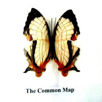 Real framed butterfly Display Rare Insect Taxidermy Real Common Map Butterfly Display