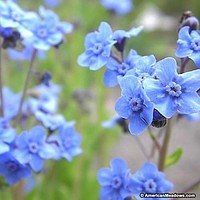 Chinese Forget Me Not Blue Flower Seeds (Cynoglossum Amabile) 200+Seeds