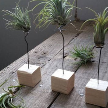 Air plant wood and wire holder display