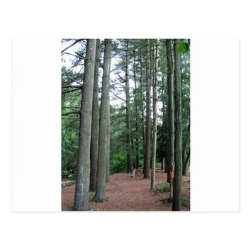 Tall Trees in the Woods Postcard