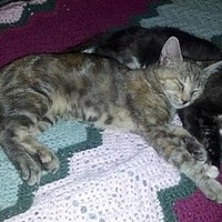 Vacaville, CA - Domestic Shorthair. Meet Mouse a Kitten for Adoption.