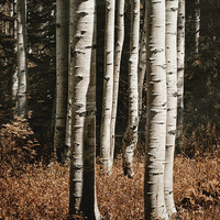 Landscape Photography, Aspen Trees, Rustic Home Decor, White & Rusty Brown | 'Sienna Grove'