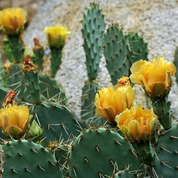 Tulip Prickly Pear Cactus Seeds (Opuntia phaeacantha) 20+Seeds