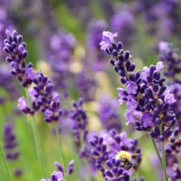 200 Purple Lavender Seeds Fragrant Organic Plant Flower Home Gardening Potted Decor DIY Heirloom