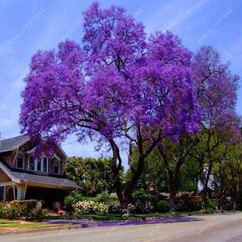 100 pcs/bag paulownia seeds, Royal Empress Tree Seeds (Paulownia tomentosa), ourdoor plants flower seeds home garden plant pot