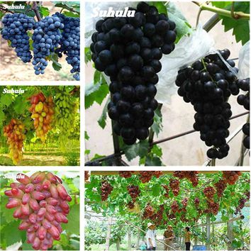 2018 Courtyard Plants Delicious Fruit Seed Grape Seeds 30 Particles/Lot Japanese Sementes Bonsai Plant For Garden Home